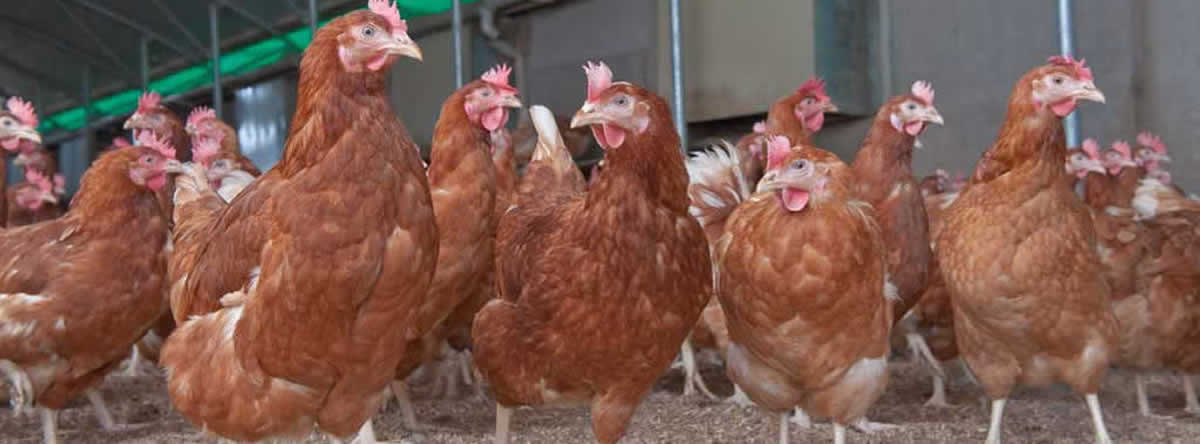 pullets1